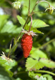 Wood wild strawberry Stock Photography