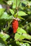 Wood wild strawberry Stock Photography