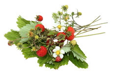 Wood wild strawberry, fragaria vesca Stock Photography