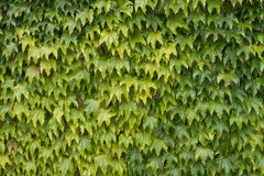 Woodbine aka Japanese ivy, climbing vine. Stock Photo