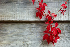 Woodbine. In autumn on a wall stock photo