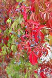 Woodbine with red leaves and blue berries in close up Stock Photos