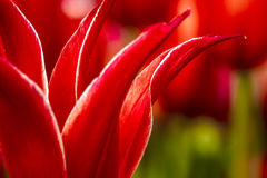 Woodburn Oregon Tulip Fields Stock Image