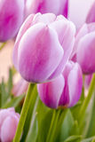 Woodburn Oregon Tulip Fields Stock Photos