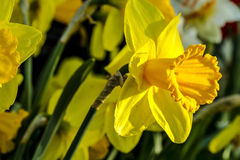 Woodburn Oregon Tulip Fields Royalty Free Stock Photos