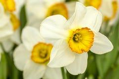 Woodburn Oregon Tulip Fields Royalty Free Stock Photography