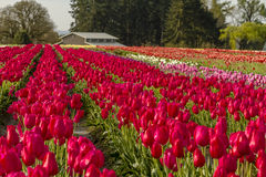 Woodburn Oregon Tulip Fields Royalty Free Stock Images