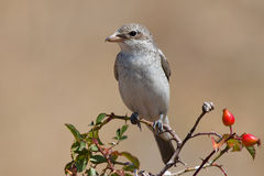 Woodchat shrike Royalty Free Stock Photo