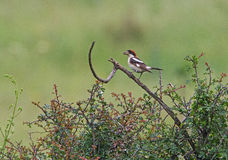 Woodchat Shrike on the favourite perch Stock Image