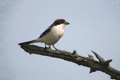 Woodchat shrike, Lanius senator Royalty Free Stock Images