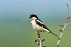 The woodchat shrike (Lanius senator) Stock Photos