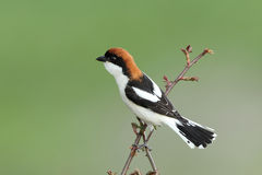 Woodchat shrike ( Lanius senator ) Royalty Free Stock Photos