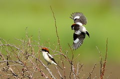 Woodchat shrike ( Lanius senator) outdoor Stock Photography