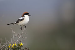 Woodchat shrike, Lanius senator Royalty Free Stock Photo