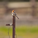A Woodchat Shrike on a metal post Royalty Free Stock Photo