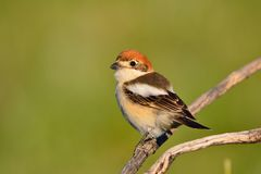 Woodchat shrike perched on a branch. Stock Images