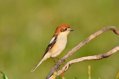 Woodchat shrike perched on a branch. Royalty Free Stock Photos