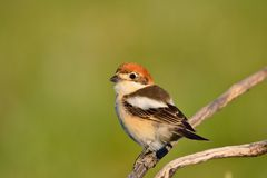 Woodchat shrike perched on a branch. Royalty Free Stock Image