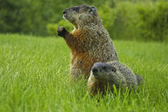 Woodchuck Stock Image
