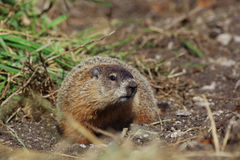 Woodchuck Royalty Free Stock Photo