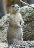 Woodchuck standing guard on hind legs. This woodchuck is checking for danger by standing on his hind legs royalty free stock images