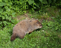 Woodchuck eating weeds in the wilderness Stock Images