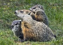 Woodchuck Family. A woodchuck or groundhog and her litter make a cute picture, but the rodents, belonging to the family sciuridae, can prove to be a nuisance to Stock Photos
