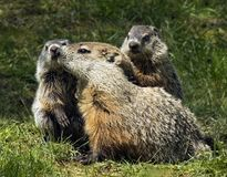 Woodchuck Family. A woodchuck or groundhog and her litter make a cute picture, but the rodents, belonging to the family sciuridae, can prove to be a nuisance to Royalty Free Stock Photo