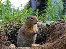 The woodchuck got out of the hole.  stock image