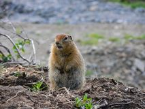 The woodchuck got out of the hole.  stock photography