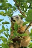 Woodchuck/groundhog σίτιση σε ένα δέντρο στοκ εικόνες