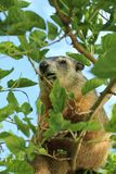 Woodchuck/groundhog feeding in a tree. Here`s something you don`t see everyday. A groundhog/woodchuck feeding in the top of a Mulberry tree stock images