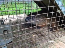Woodchuck in humane trap. A woodchuck caught in a live trap for transporting to another area Stock Image