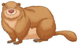 Woodchuck Royalty Free Stock Images