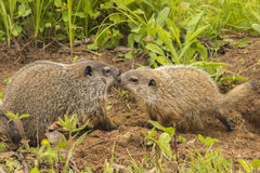 Free Woodchuck Kiss Royalty Free Stock Images - 73614029