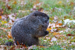 Woodchuck leaves Stock Photography