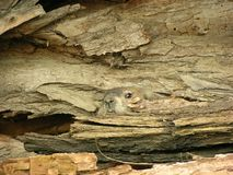Woodchuck In Log. A woodchuck blending in with rotting tree log royalty free stock photo