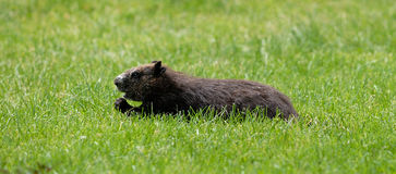 Woodchuck. Is looking for the food on the grass royalty free stock photos