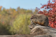 Woodchuck (Marmota monax) Against Sky Royalty Free Stock Photography