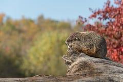 Woodchuck (Marmota monax) Against Sky. Captive animal Royalty Free Stock Photography