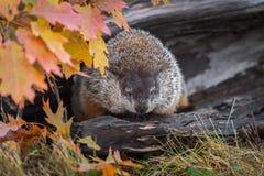 Woodchuck Marmota monax Eyes Lowered in Log Autumn. Captive animal stock images