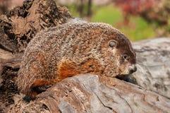 Woodchuck (Marmota monax) Faces Right Stock Photos