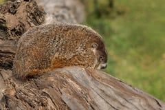 Woodchuck (Marmota monax) Facing Right on Log Royalty Free Stock Photography