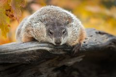 Woodchuck Marmota monax Hangs Over Side of Log. Captive animal royalty free stock images