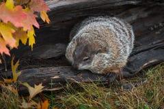 Woodchuck Marmota monax Huddled in Log Autumn. Captive animal stock photography