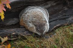Woodchuck Marmota monax Leans Out of Log royalty free stock images