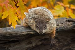 Woodchuck Marmota monax Leans Out Over Log Paw Extended Autumn royalty free stock photo