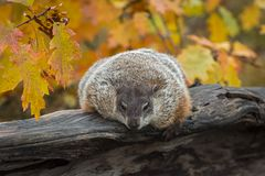 Woodchuck Marmota monax Leans Over Log in Autumn stock images