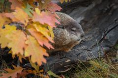 Woodchuck Marmota monax in Log Behind Autumn Leaves. Captive animal royalty free stock image