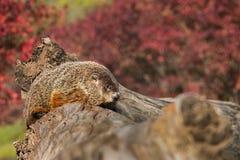 Woodchuck (Marmota monax) on Log. Captive animal Stock Photography